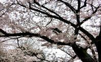 桜 満開 - 義弘の 足の向くまま 気の向くまま