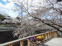 桜咲く - (株)ハンモクのブログ
