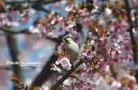 寒桜にニュウナイスズメ② - azure 自然散策 ~自然・季節・野鳥~