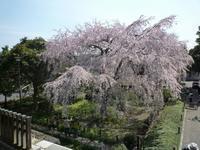 絶好の桜見 - diossの自転車日記