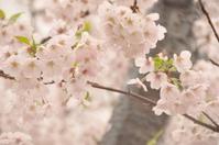 桜咲く大岡川 - 想い出