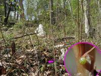 ルリタテハの卵 - 秩父の蝶
