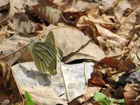 春型ヤマトスジグロシロチョウの交尾 - 秩父の蝶