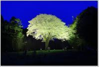 月光桜 - ハチミツの海を渡る風の音