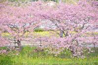 2017 桜巡り - なちゅフォト