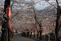 参道の夕桜  - 風の彩り-2
