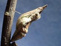 春待ち蛹 クロアゲハ蛹に - おらんくの自然満喫