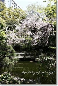 枝垂桜 - 石屋の女房