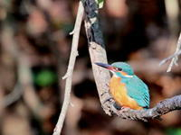 君は僕が守ってあげるね! カワセミ  WDB - シエロの鳥ノート