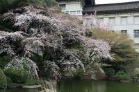 国立博物館、庭園の桜 - お散歩写真     O-edo line