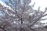 有馬の桜は今が満開 - ネコトクラス