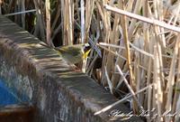 日本初確認 珍鳥「カオグロアメリカムシクイ」さん♪ - ケンケン&ミントの鳥撮りLifeⅡ