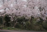 今日の庭 桜 満開 - シェーンの散歩道