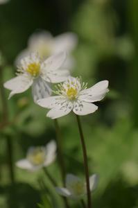 二輪草が咲いていました! - 武蔵野散歩Ⅱ