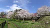 遊水地わきの桜 - ネコと裏山日記