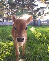 うちのイケメン、ご紹介します/ Our New Calf, Mac - アメリカからニュージーランドへ