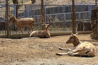 シフゾウ「セナ」の来園 - 動物園放浪記
