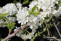 春日狂想 - 黒い森の白いくまさん