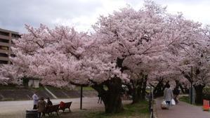 芥川の桜 - 笑うわんこ