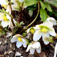 冬と春の境界線(越冬した宿根草アレコレ) - Homely
