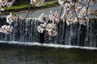 最高の桜日和 - 写真の散歩道