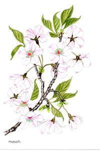 桜、色々。 - がちゃぴん秀子の日記