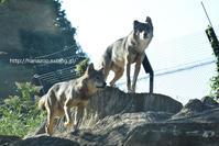 セロとマロの同居(2016/10/15) - 今日ものんびり動物園