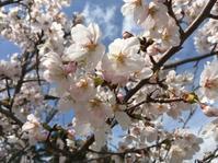 桜の頃 - 変わりゆく温度