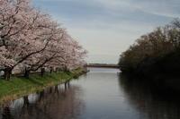 福岡堰の桜 - 亢竜悔いあり