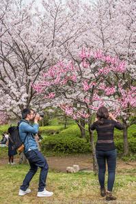 桜界隈 天満橋~銀橋 - シセンのカナタ