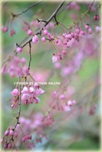 近所お散歩お花見 Nikon D800 - ひとみの興味津々でございます!日々のブログ