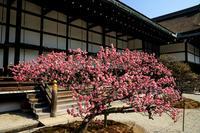 梅咲く京都御所 - 花景色-K.W.C. PhotoBlog