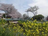 桜見物花筏の風景・埼玉東浦和駅から散策 - 活花生活(2)