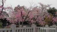 普段の桜 - ひつじの手仕事、日々のこと