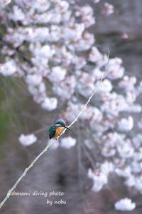 桜とカワセミの写真 (旦那 nobu の写真編) - サカナのおカオ