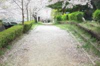 桜の絨毯 - Vivid Image