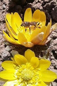 春分。フクジュソウにニホンミツバチ。 - 空ヤ畑ノコトバカリ