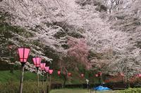 山を彩る桜♪ - happy-cafe*vol.2