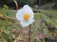 春の白色、まだある(^^ゞ - アオモジノキモチ