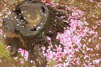 ご近所お寺さんの桜満開♪ 4 - Let's Enjoy Everyday!