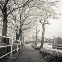 2017年4月15日 花曇りの桜並木を駆け抜ける自動車 - Silver Oblivion