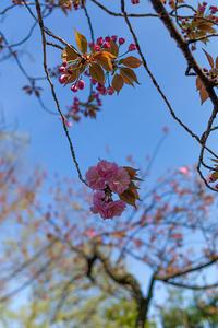 次の主役は八重桜 - 彩りの軌跡