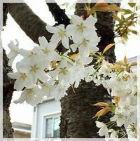 白い桜 - Arys style  「整える」くらし