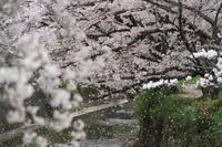 飛鳥川 遊歩道に桜舞う! - まほろば 写真俳句