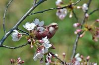 桜にベニマシコ Ⅱ - 気ままな生き物撮り