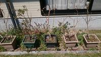 鉢植えブルーベリーの植え替え in 広島 - 初めてのブルーベリー栽培記