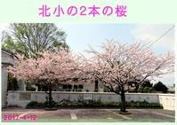 ☆ 北小の桜  - ニットルームpiko