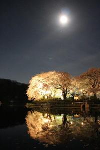 夜桜・鹿の川沼 (みどり市笠懸町) - 上州東毛 無軌道庵
