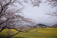 桜と菜の花 青空が欲しかった・・・ - ratoの大和路