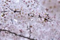 サクラ満開 - 花と香りと、そして雲
